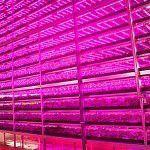 10 000 hlávek salátu za den produkuje největší farma s LED osvětlením